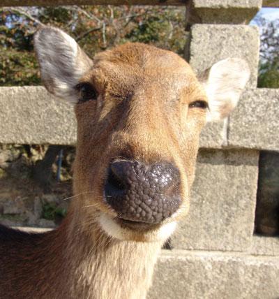 nara-deer.jpg