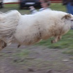 jumping-sheep1